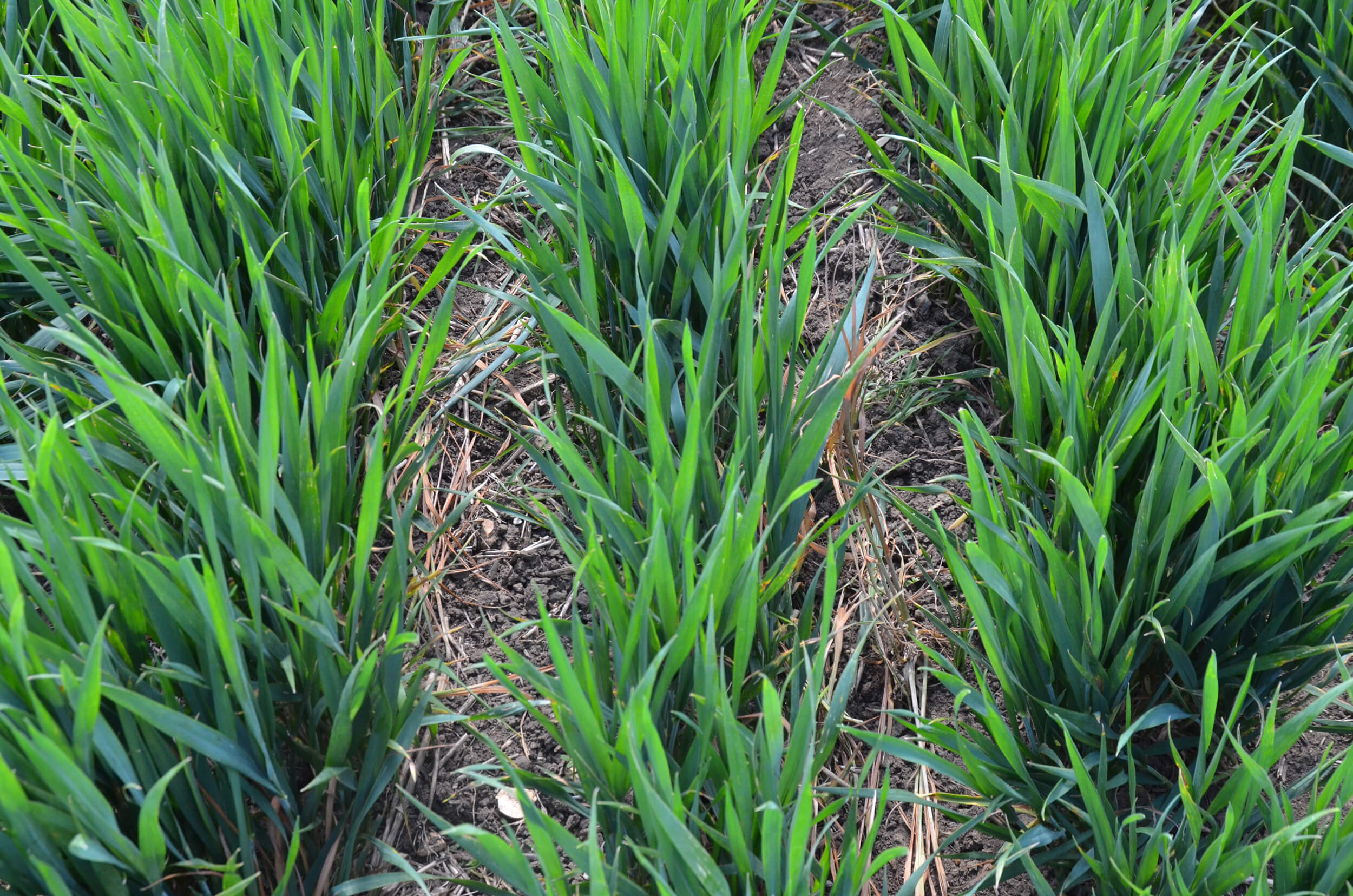 inter-row hoed crops