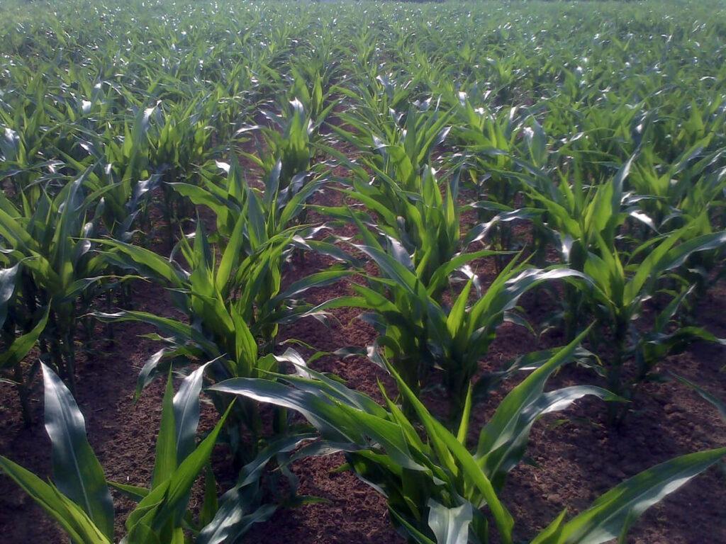 Crops - maize