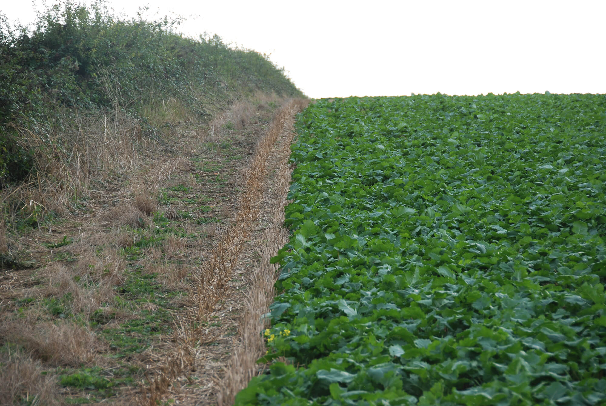 Claydon oilseed rape