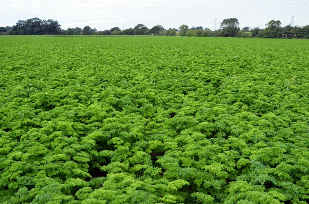 Crops - parsley