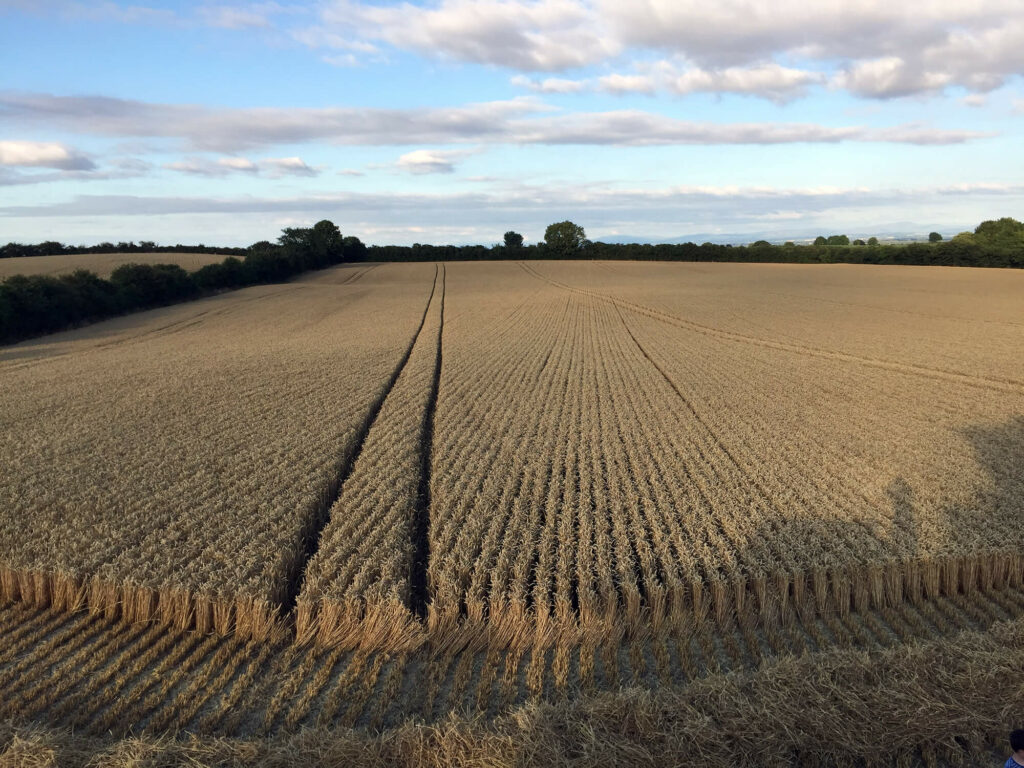 Crops - wheat