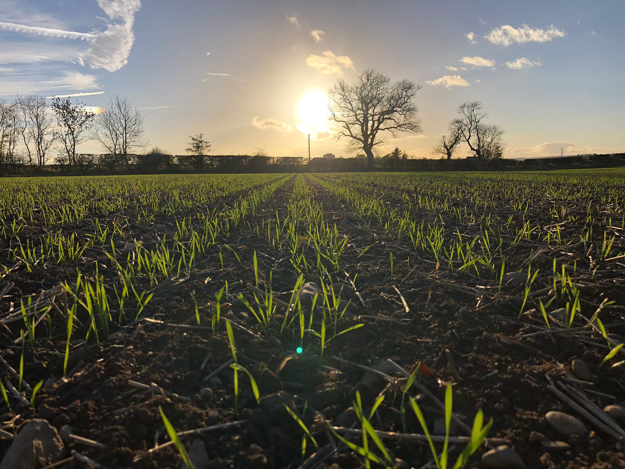 Claydon wheat