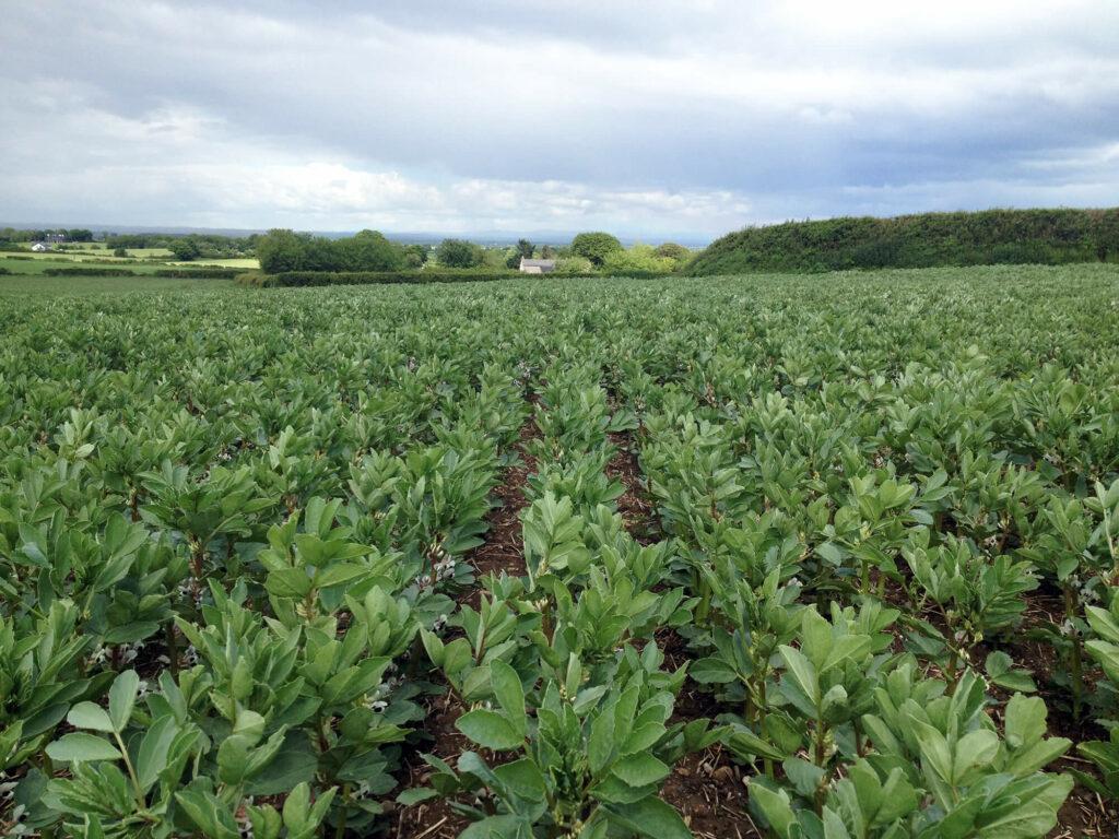 Crops - winter beans (2)